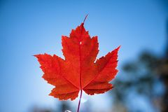 Red Maple leaf against sky royalty free stock images