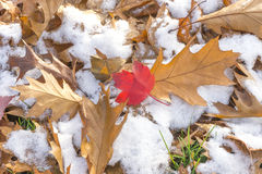 Red maple leaf amidst autumn oak leaves on a snowy ground Stock Photography