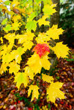 Red Maple Leaf Amongst Yellow Leaves Stock Photography