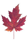 Red maple leaf. As an autumn symbol as a seasonal themed concept as an icon of the fall weather on an isolated white background stock photos
