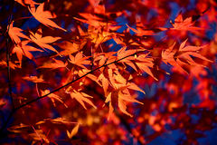 Red Maple leaf in Autum Stock Images