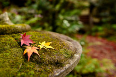 Red Maple leaf in Autum Royalty Free Stock Image