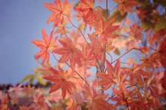 Red maple leaf in Autum season Stock Photo