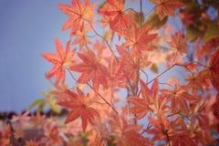 Red maple leaf in Autum season Stock Photo