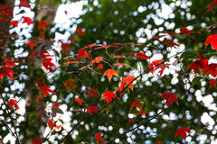 Red maple leaf in autumn Stock Photography