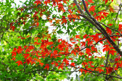 Red maple leaf in autumn.  stock images