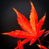 Red maple leaf in autumn. Red leaf of a Dancing Japanese Maple back lit with dark background royalty free stock photo