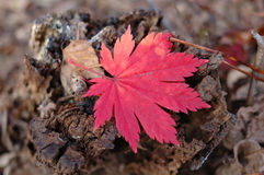 Red maple leaf on autumn ground. Royalty Free Stock Image