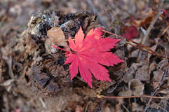 Red maple leaf on autumn ground. Royalty Free Stock Photo