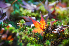 Red maple leaf in autumn Stock Photos