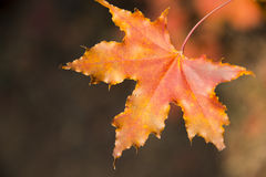 Red maple leaf. Autumn, red maple, pentagram, beautiful red leaves Stock Image