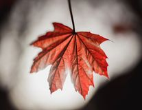 Red Maple Leaf With Back Lighting Royalty Free Stock Photo