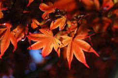 Red maple leaf background. Against sunlight Royalty Free Stock Images