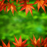 Red Maple Leaf Background Royalty Free Stock Photos