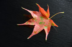 Red maple leaf. On black background Royalty Free Stock Images