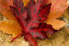 Red Maple Leaf. Red and black maple leaf resting on leaf and rock earth tones Stock Images
