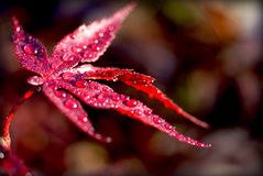 Crimson maple leaf. Bright crimson maple leaf with water droplets in the morning sun and a blurred background Stock Photo