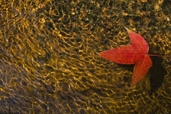 Red maple leaf in brook Stock Images