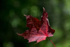 Red maple leaf. Canadian red maple leaf in autumn royalty free stock photos
