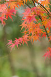 Red maple leaf close-up Stock Photography