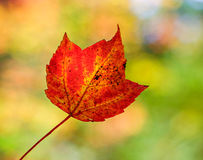Red Maple Leaf - Close Up Stock Images