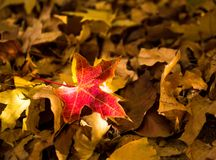 Red maple leaf, close-up, withered leaves, autumn scenery stock image