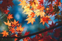 Red maple leaf. Red maple leaf closeup in autumn royalty free stock photos