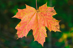 Red maple leaf. Closeup of autumn red maple leaf still attached to the tree royalty free stock images