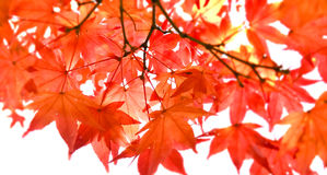 Red Maple leaf in Cloudy day in Autumn, Selective focus. Red Autumnal Maple foliage in Cloudy day, Selective focus stock image