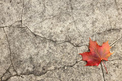 Red maple leaf on cracked concrete Stock Images