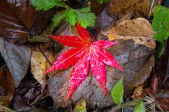 Red Maple Leaf. In the dry tree leaf Stock Photos