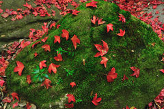 Red maple leaf during fall Royalty Free Stock Images