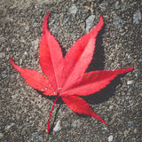 Red maple leaf fall on natural stone Stock Photo