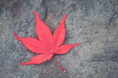Red maple leaf fall on natural stone Royalty Free Stock Images