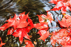Red maple leaf during fall Royalty Free Stock Photography
