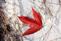 Red maple leaf fall in white sand, Beauty in nature. Top view and natural light Stock Images