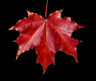 Red maple leaf. Fallen in the autumn from a tree a red maple leaf Royalty Free Stock Photo