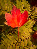Red Maple leaf on Fern. A lone orange and red maple leaf on a green fern stock photo