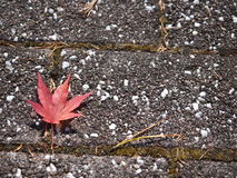 Red maple leaf on floor. A close up maple leaf that is place on a concrete walkway in fall Royalty Free Stock Image