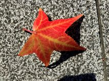 Red maple leaf on flor royalty free stock photo