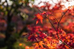 Red maple leaf with foliage sunset bokeh background. Red maple leaves with foliage bokeh background at sunset in Fall or aun at Eikan-do Zenrinji temple, Kyoto stock image