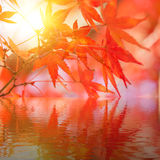 Red maple leaf in forest in fall season, autumn background. Stock Images