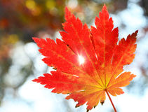 Red maple leaf, golden autumn Stock Photos