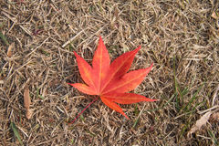 Red maple leaf Royalty Free Stock Photography
