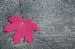 Red maple leaf on the gray concrete backdrop royalty free stock photos