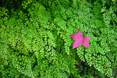 Red maple leaf on the green color fern background Stock Photography