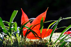 Red maple leaf  and green ferns Stock Photography