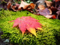 Red maple leaf in the green forest Royalty Free Stock Photos