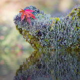 Red maple leaf and green moss covered branch. Stock Images
