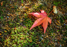 Red maple leaf on the ground Royalty Free Stock Photos